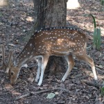 Cheetal - the spotted deer
