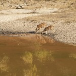 Deer at a watering hole